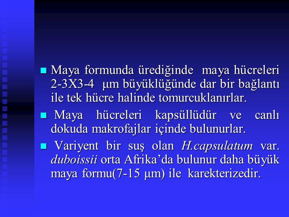 Maya formunda ürediğinde maya hücreleri 2-3X3-4 μm büyüklüğünde dar bir bağlantı ile tek hücre halinde tomurcuklanırlar.