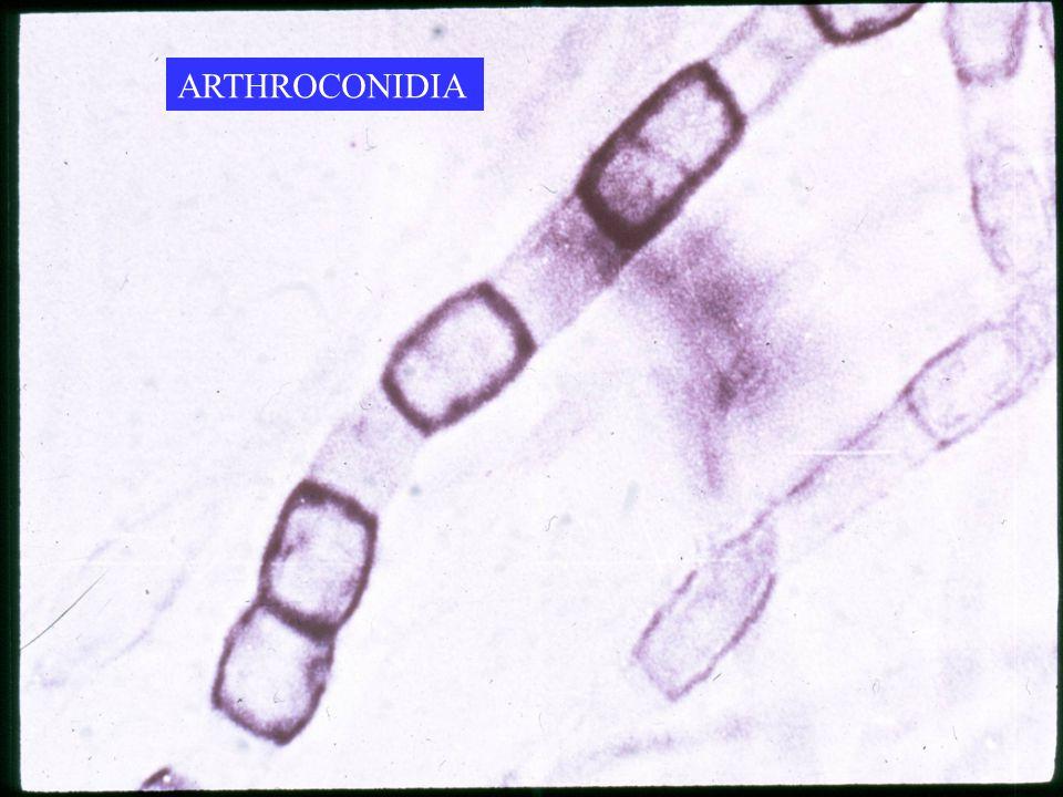 ARTHROCONIDIA