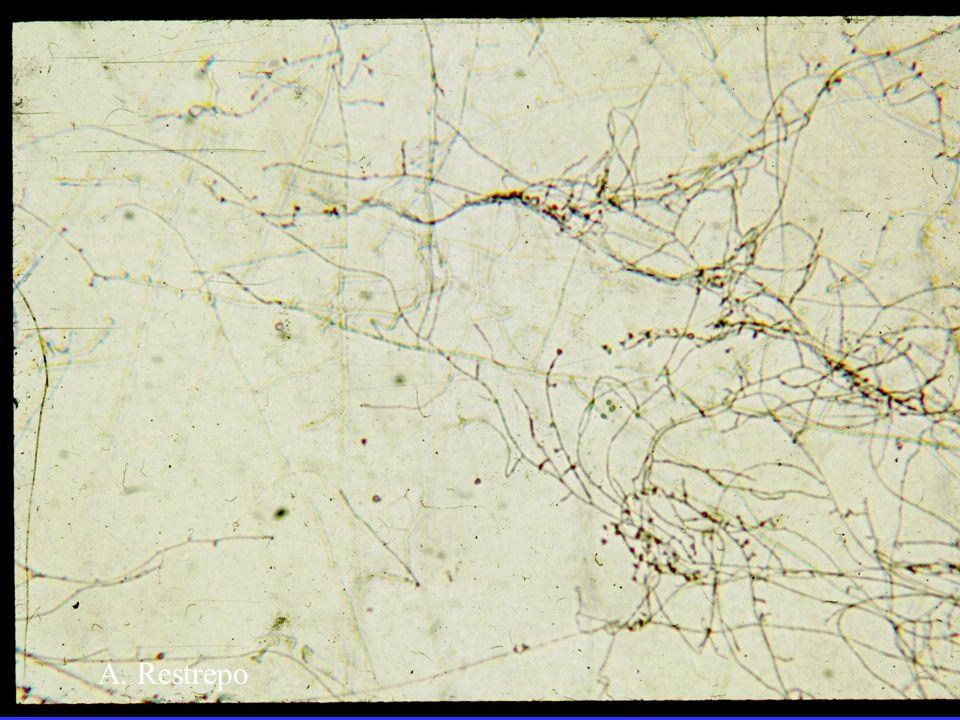 microconidia A. Restrepo