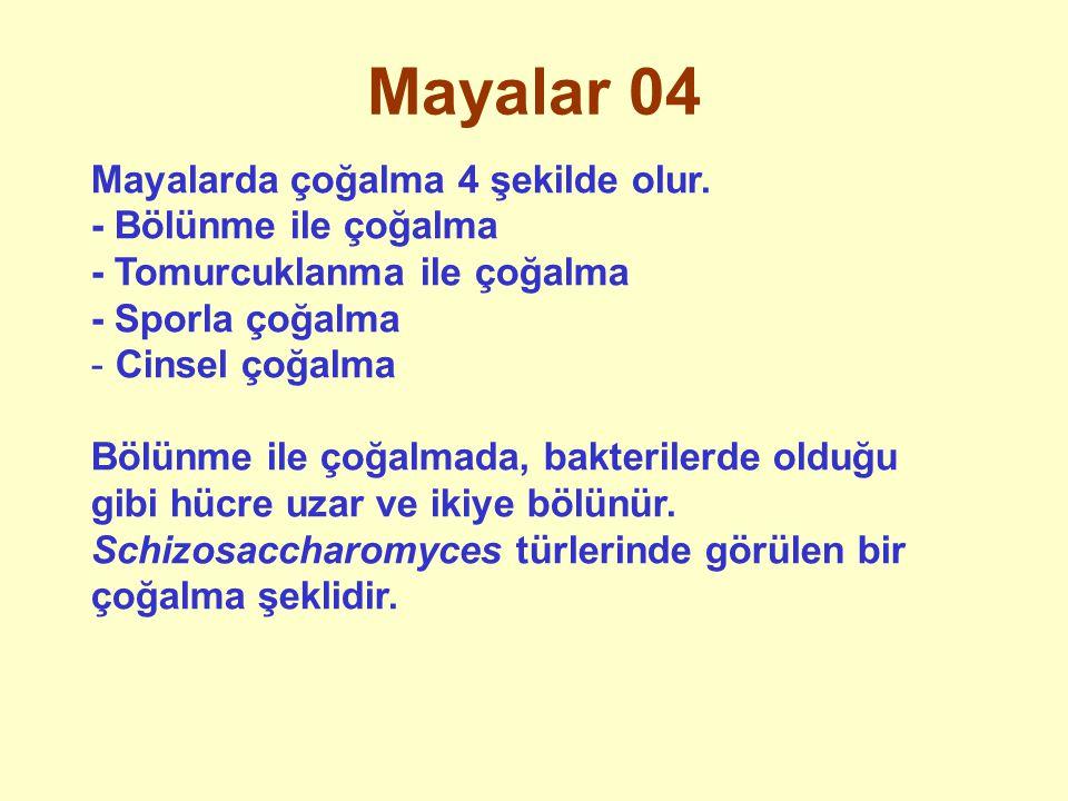 Mayalar 04 Mayalarda çoğalma 4 şekilde olur. - Bölünme ile çoğalma