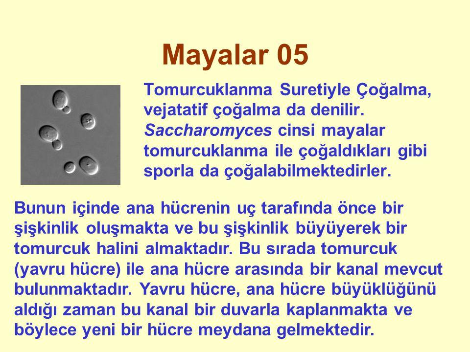 Mayalar 05