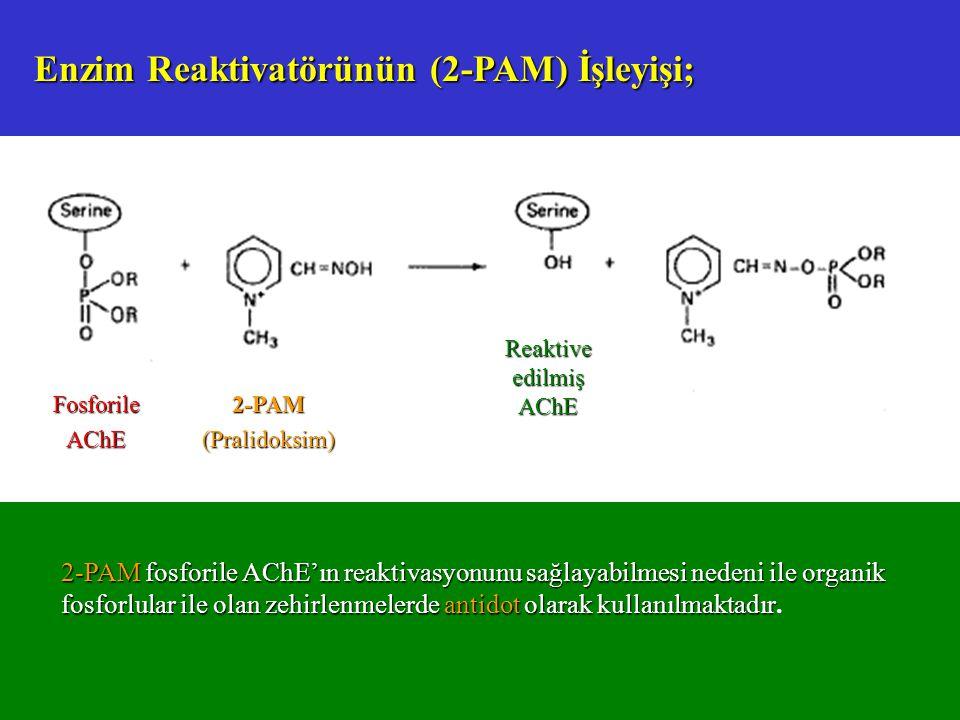 Enzim Reaktivatörünün (2-PAM) İşleyişi;