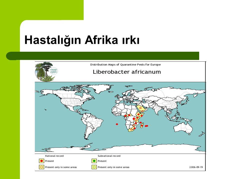 Hastalığın Afrika ırkı