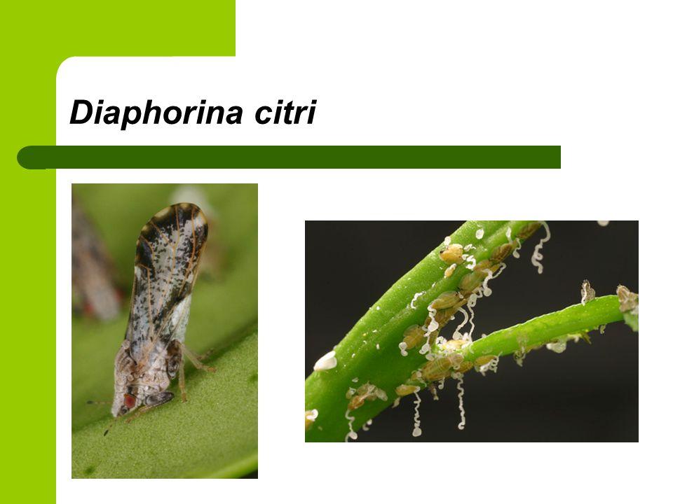 Diaphorina citri