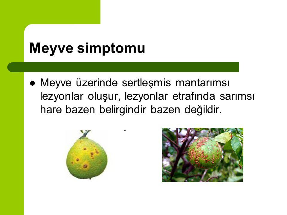 Meyve simptomu Meyve üzerinde sertleşmis mantarımsı lezyonlar oluşur, lezyonlar etrafında sarımsı hare bazen belirgindir bazen değildir.