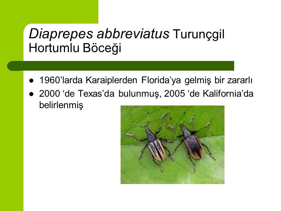 Diaprepes abbreviatus Turunçgil Hortumlu Böceği