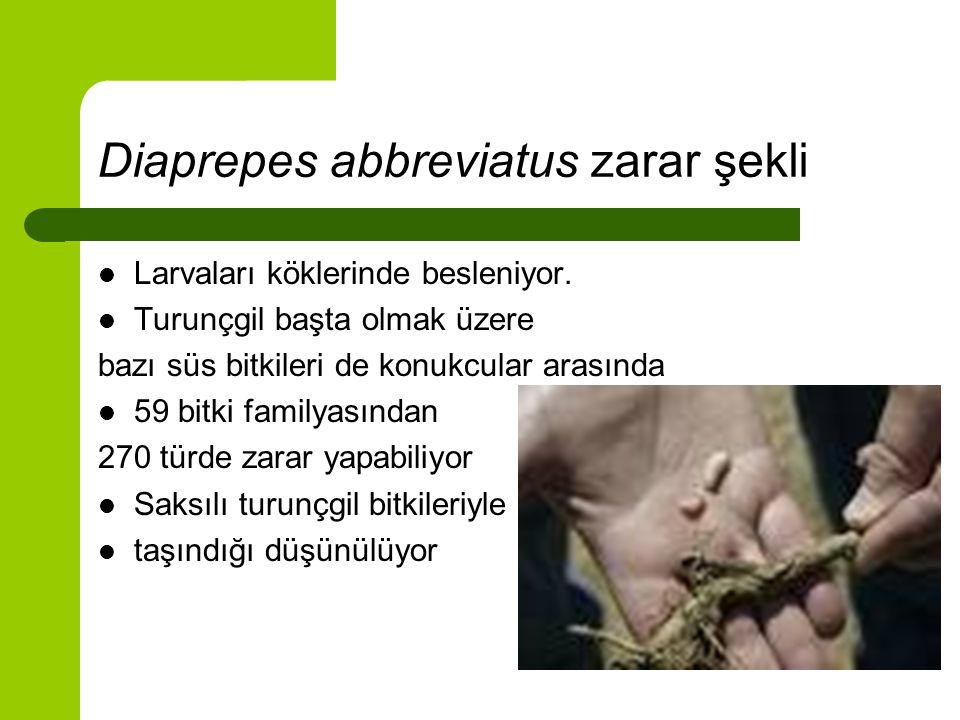 Diaprepes abbreviatus zarar şekli