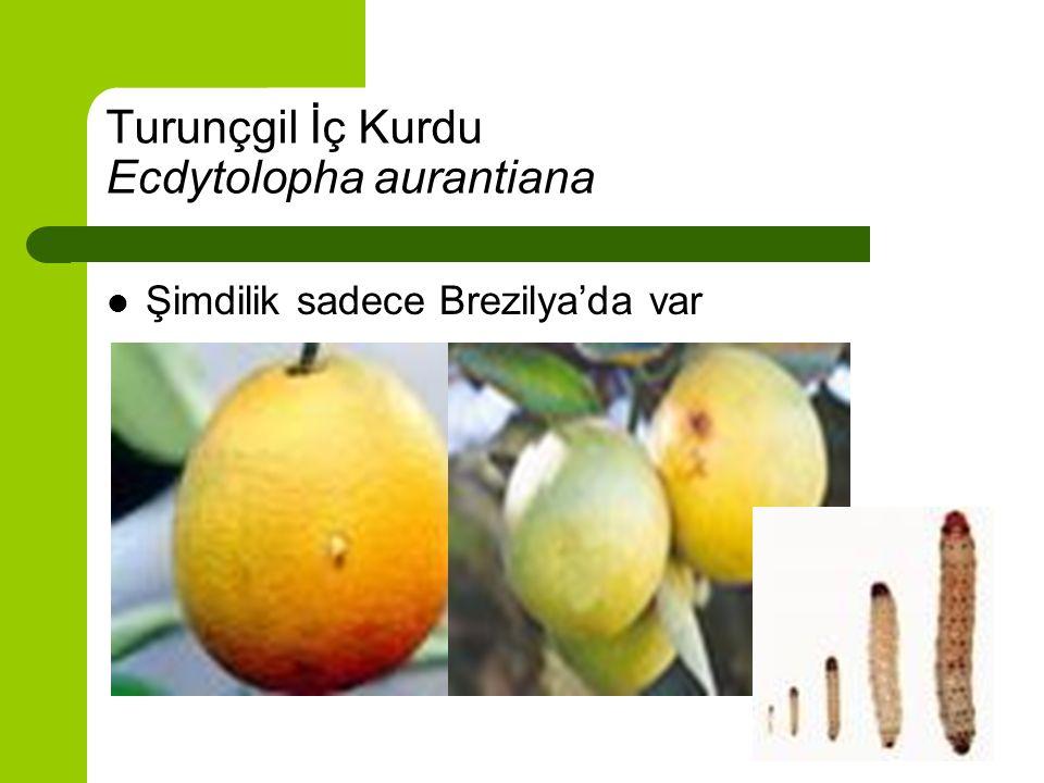 Turunçgil İç Kurdu Ecdytolopha aurantiana