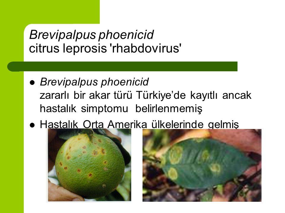 Brevipalpus phoenicid citrus leprosis rhabdovirus