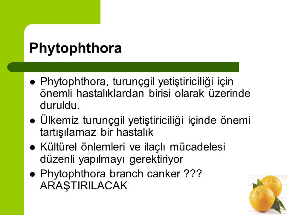 Phytophthora Phytophthora, turunçgil yetiştiriciliği için önemli hastalıklardan birisi olarak üzerinde duruldu.