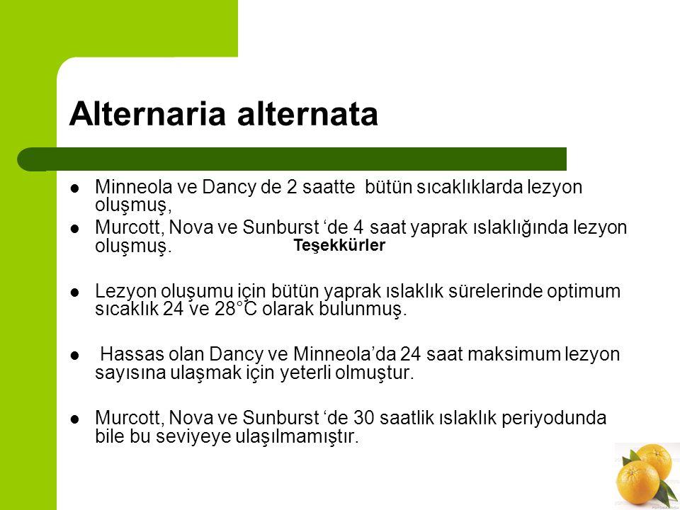 Alternaria alternata Minneola ve Dancy de 2 saatte bütün sıcaklıklarda lezyon oluşmuş,