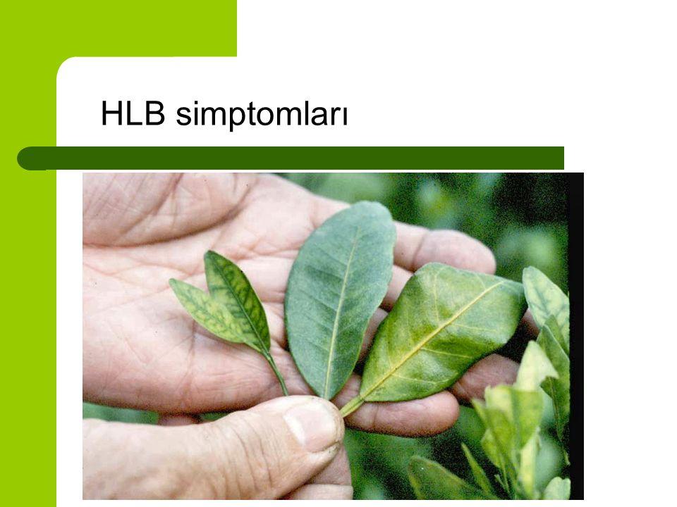 HLB simptomları