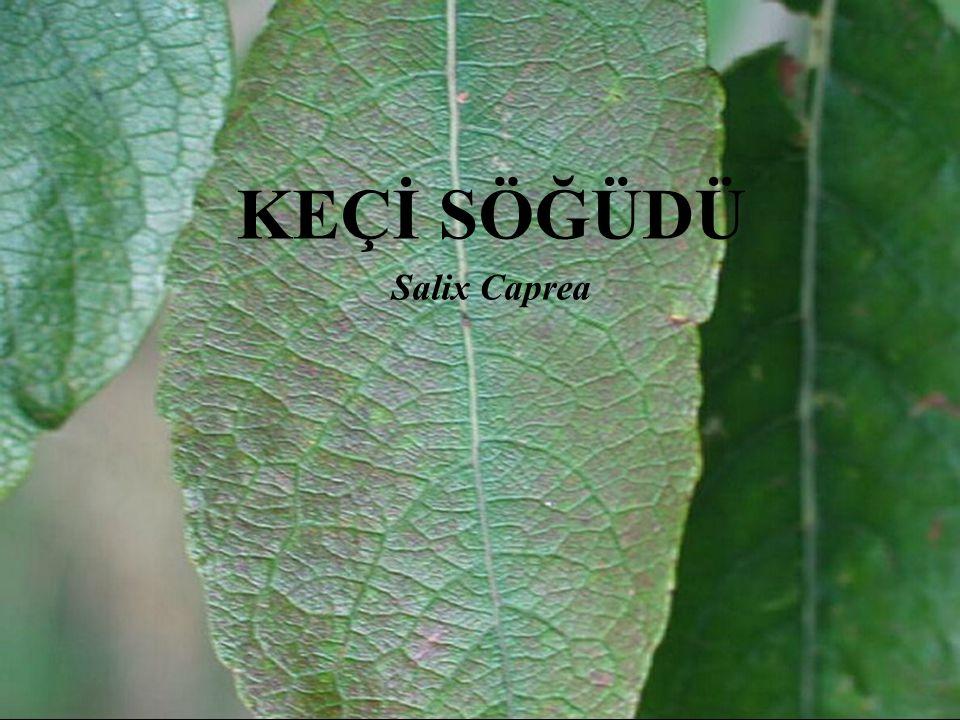 KEÇİ SÖĞÜDÜ Salix Caprea