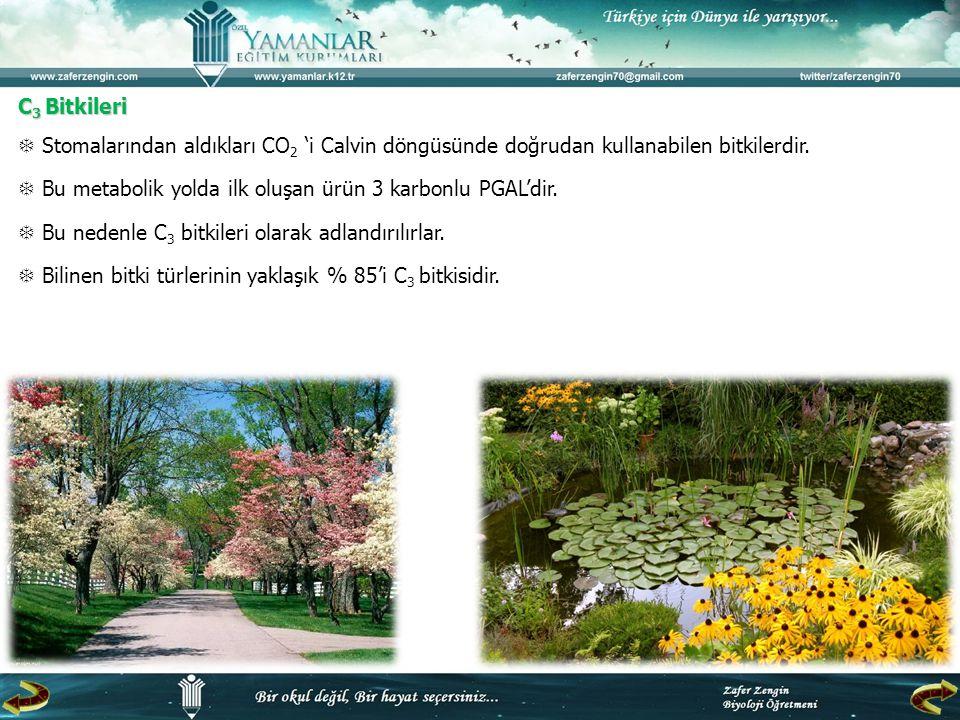 C3 Bitkileri  Stomalarından aldıkları CO2 'i Calvin döngüsünde doğrudan kullanabilen bitkilerdir.