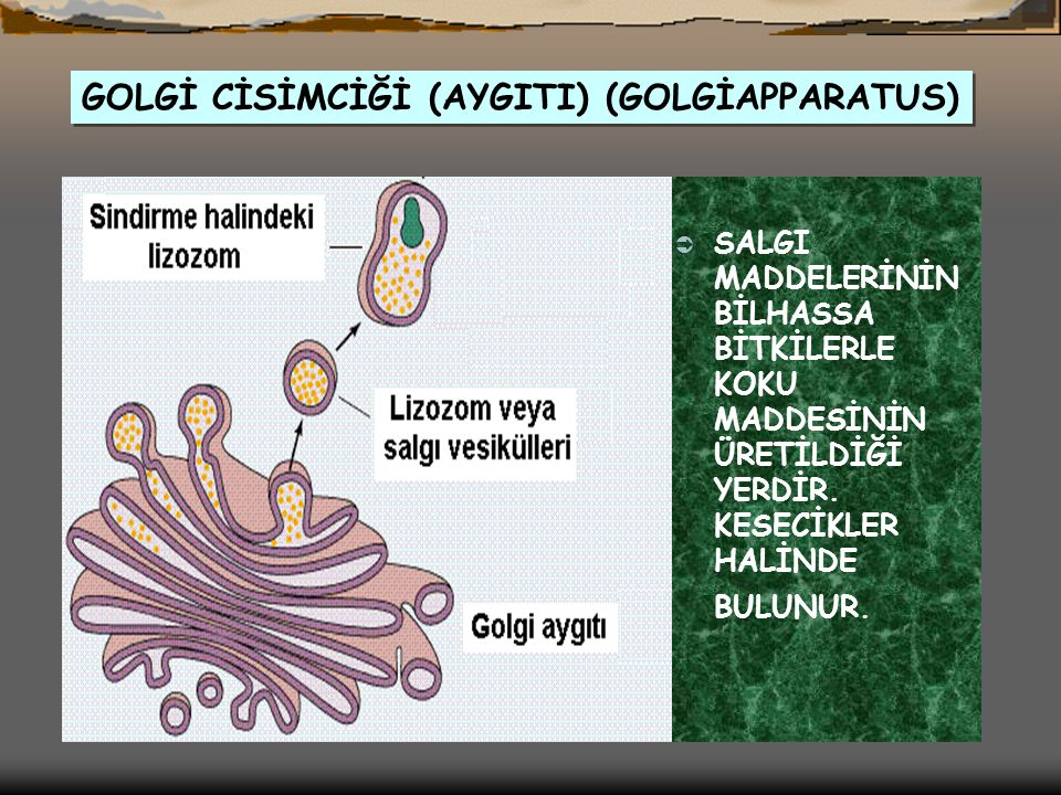 GOLGİ CİSİMCİĞİ (AYGITI) (GOLGİAPPARATUS)