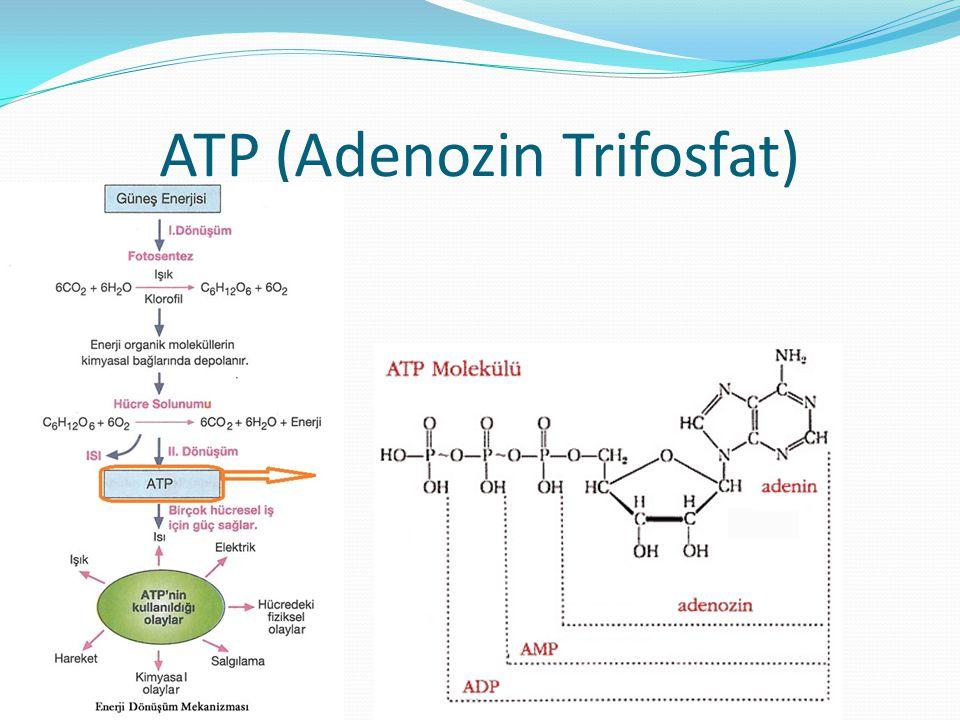 ATP (Adenozin Trifosfat)