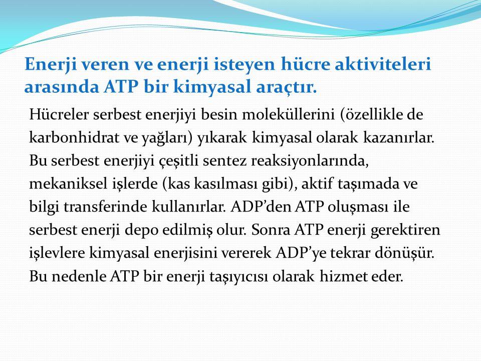 Enerji veren ve enerji isteyen hücre aktiviteleri arasında ATP bir kimyasal araçtır.