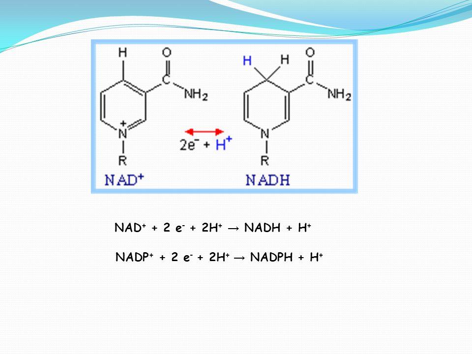 NAD+ + 2 e- + 2H+ → NADH + H+ NADP+ + 2 e- + 2H+ → NADPH + H+