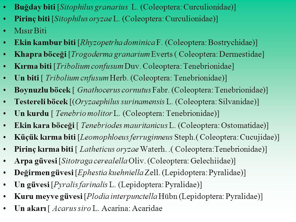 Buğday biti Sitophilus granarius L. (Coleoptera: Curculionidae)