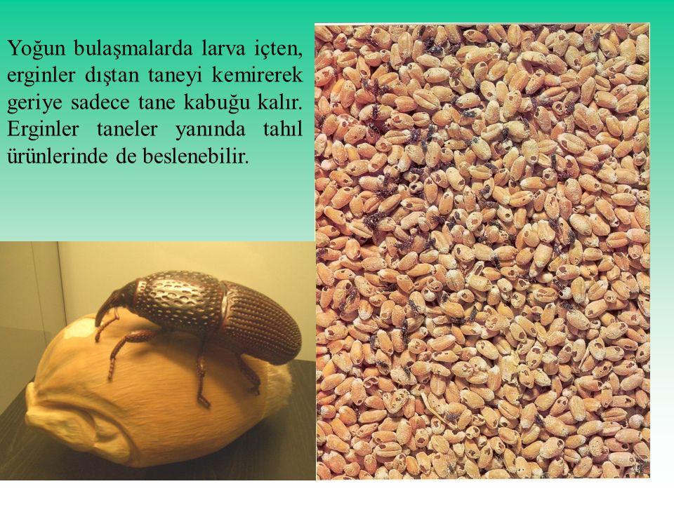 Yoğun bulaşmalarda larva içten, erginler dıştan taneyi kemirerek geriye sadece tane kabuğu kalır.