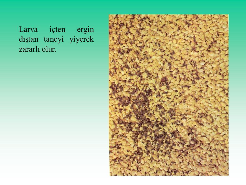 Larva içten ergin dıştan taneyi yiyerek zararlı olur.