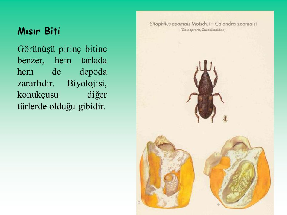 Mısır Biti Görünüşü pirinç bitine benzer, hem tarlada hem de depoda zararlıdır.