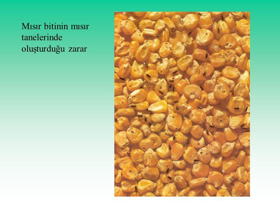 Mısır bitinin mısır tanelerinde oluşturduğu zarar