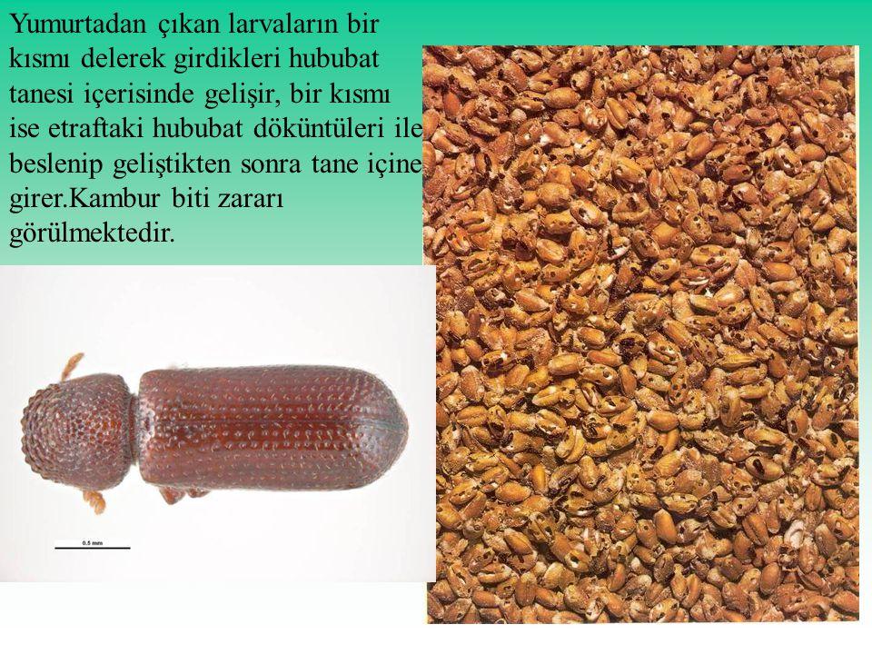 Yumurtadan çıkan larvaların bir kısmı delerek girdikleri hububat tanesi içerisinde gelişir, bir kısmı ise etraftaki hububat döküntüleri ile beslenip geliştikten sonra tane içine girer.Kambur biti zararı görülmektedir.