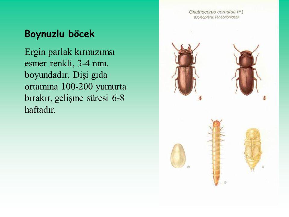 Boynuzlu böcek Ergin parlak kırmızımsı esmer renkli, 3-4 mm.
