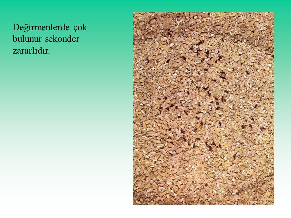 Değirmenlerde çok bulunur sekonder zararlıdır.