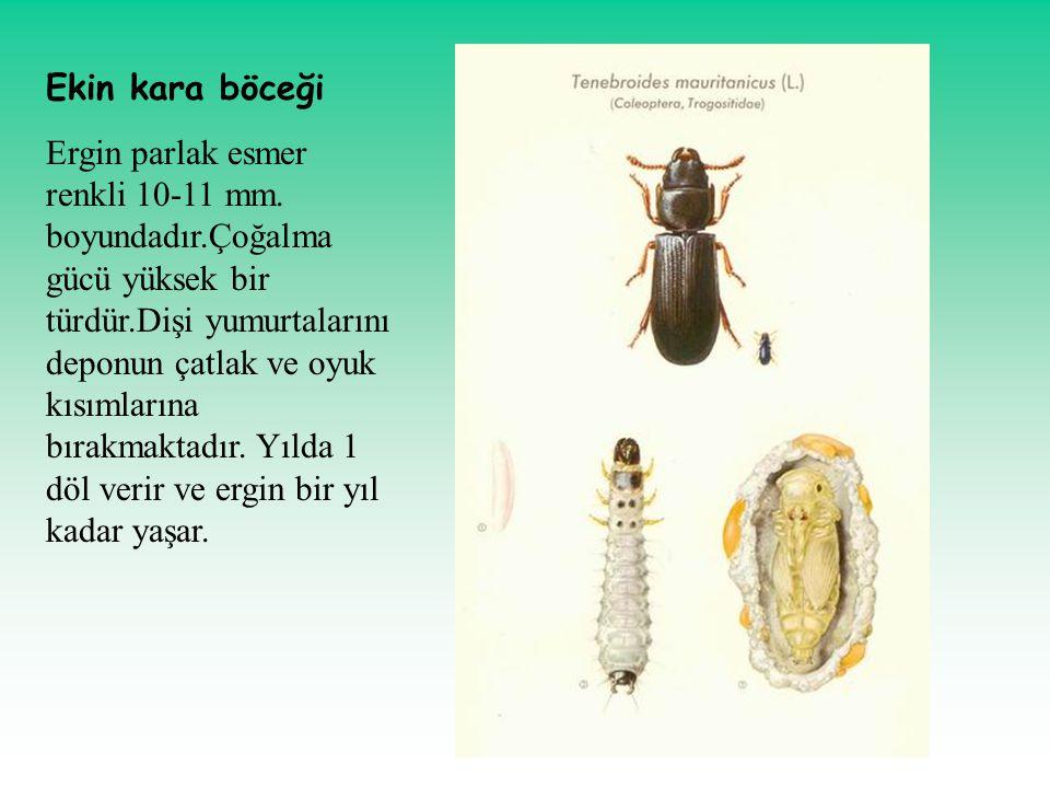 Ekin kara böceği