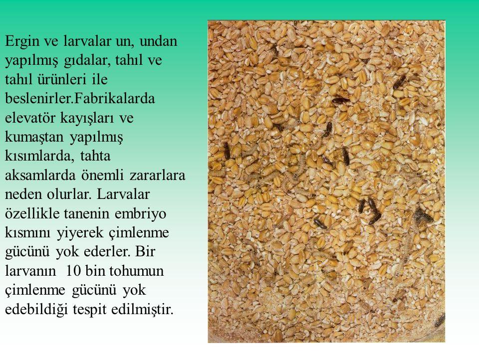 Ergin ve larvalar un, undan yapılmış gıdalar, tahıl ve tahıl ürünleri ile beslenirler.Fabrikalarda elevatör kayışları ve kumaştan yapılmış kısımlarda, tahta aksamlarda önemli zararlara neden olurlar.
