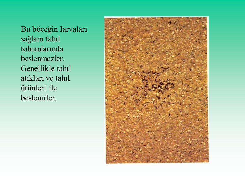 Bu böceğin larvaları sağlam tahıl tohumlarında beslenmezler
