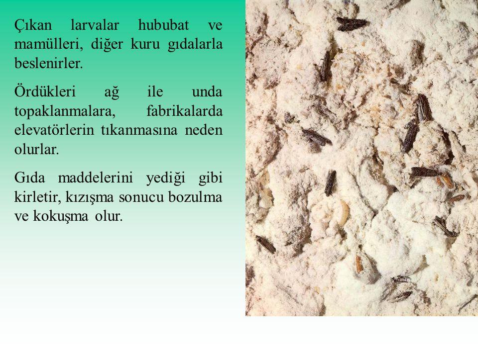 Çıkan larvalar hububat ve mamülleri, diğer kuru gıdalarla beslenirler.