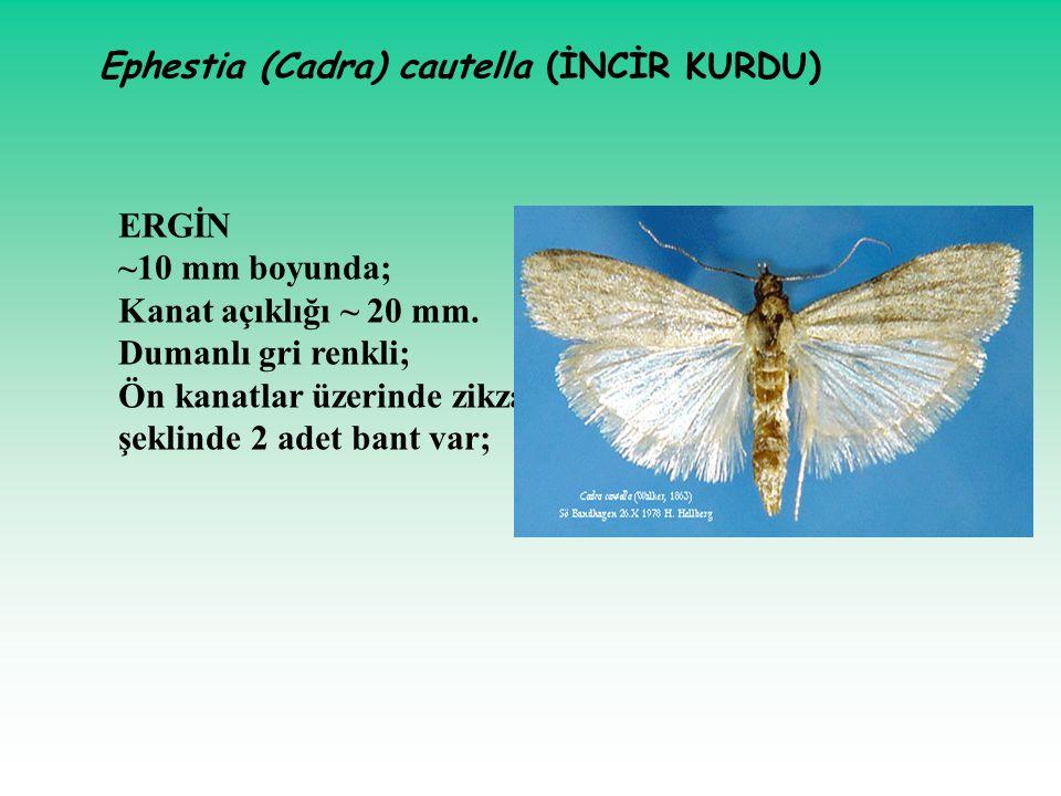 Ephestia (Cadra) cautella (İNCİR KURDU)