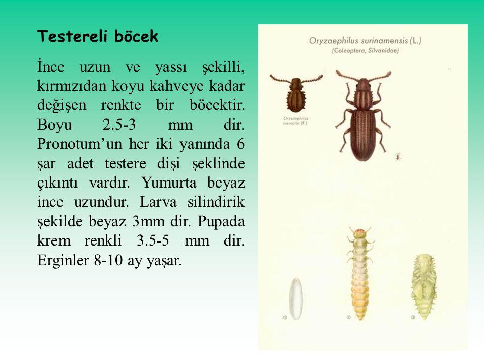 Testereli böcek