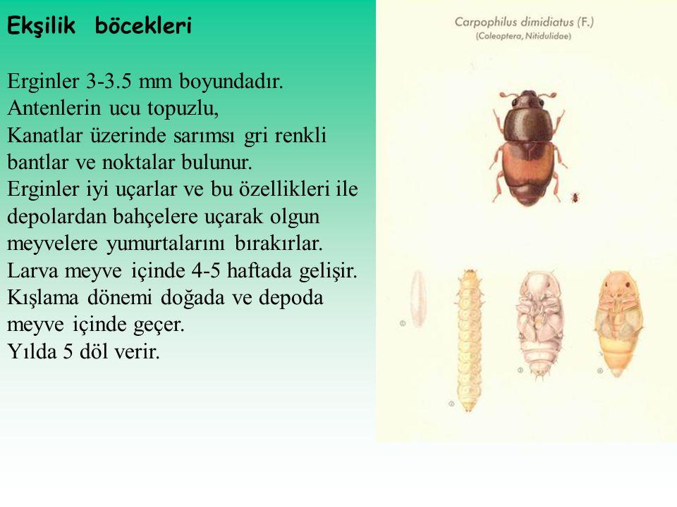 Ekşilik böcekleri Erginler 3-3.5 mm boyundadır. Antenlerin ucu topuzlu, Kanatlar üzerinde sarımsı gri renkli bantlar ve noktalar bulunur.