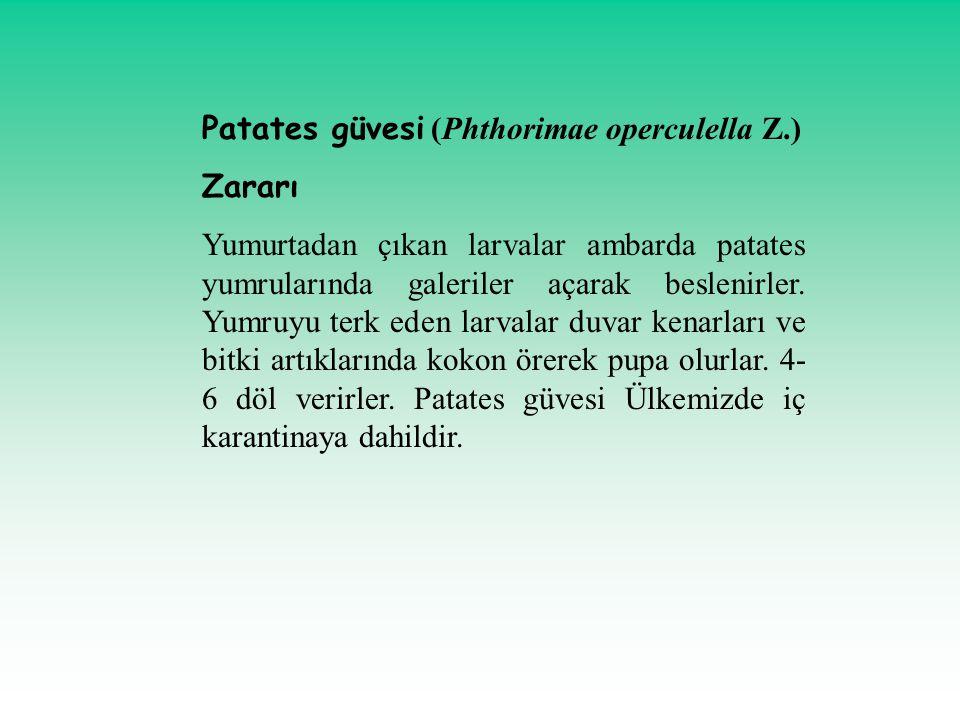Patates güvesi (Phthorimae operculella Z.)
