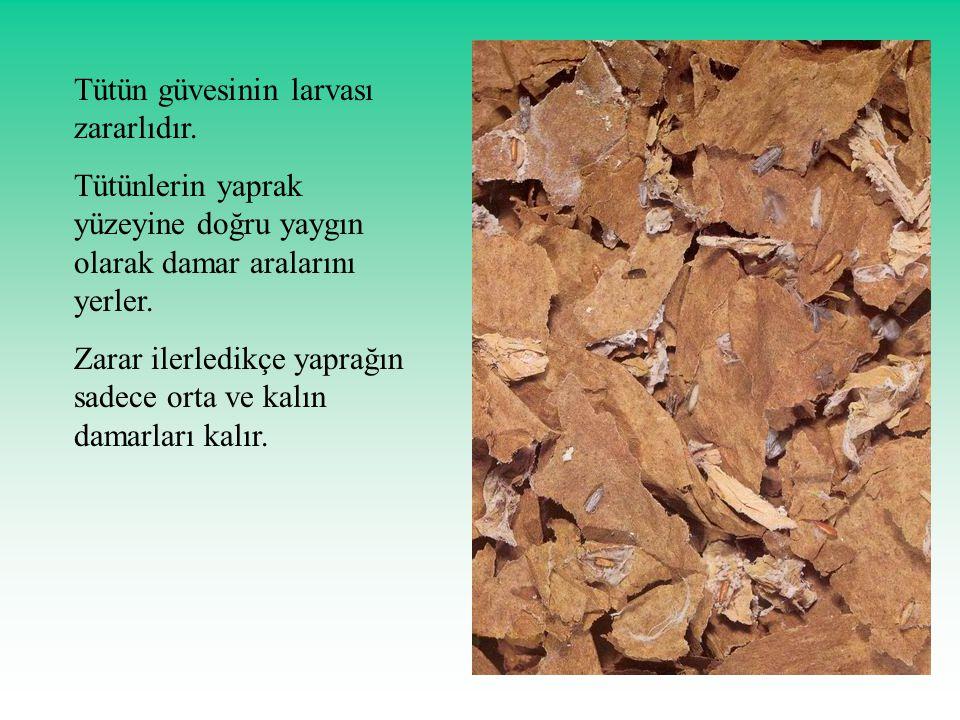 Tütün güvesinin larvası zararlıdır.
