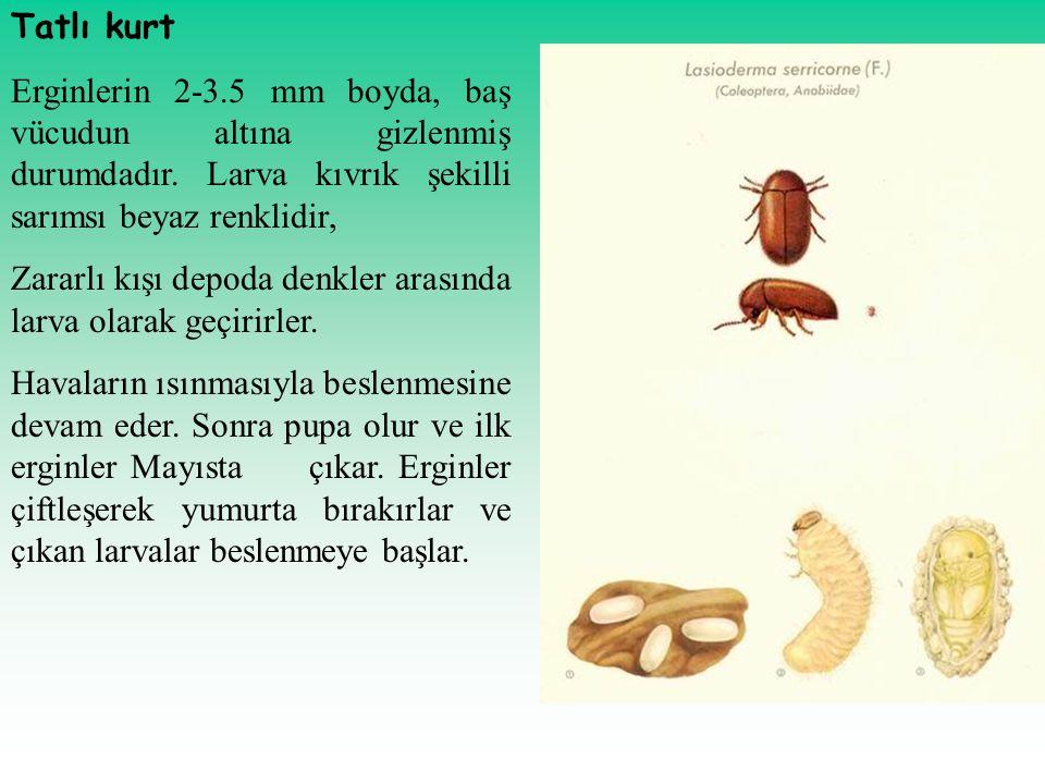 Tatlı kurt Erginlerin 2-3.5 mm boyda, baş vücudun altına gizlenmiş durumdadır. Larva kıvrık şekilli sarımsı beyaz renklidir,