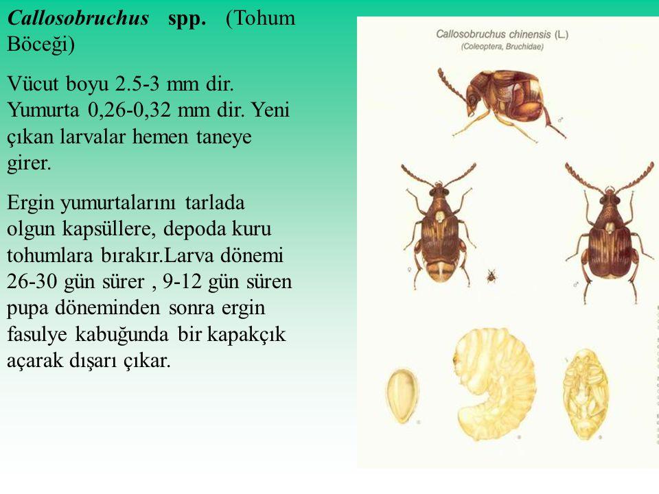 Callosobruchus spp. (Tohum Böceği)