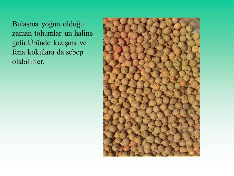 Bulaşma yoğun olduğu zaman tohumlar un haline gelir