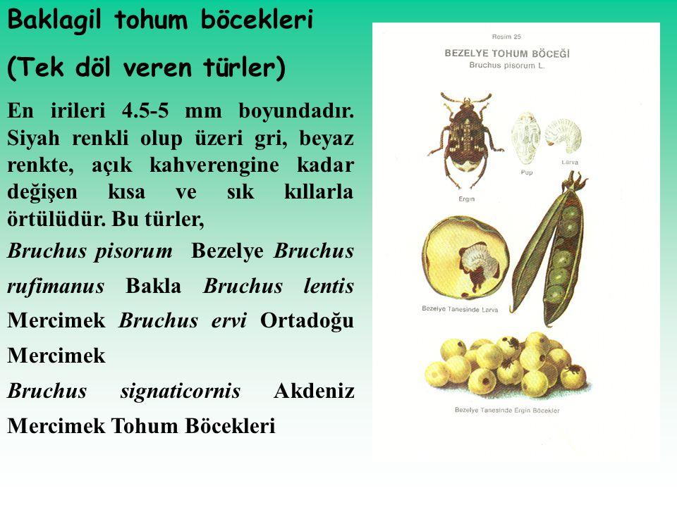 Baklagil tohum böcekleri (Tek döl veren türler)