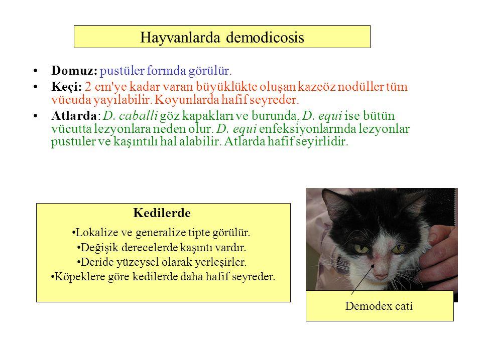 Hayvanlarda demodicosis