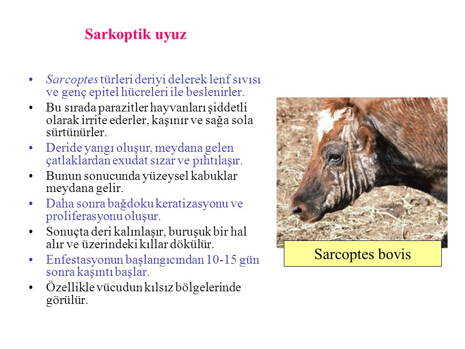 Sarkoptik uyuz Sarcoptes bovis