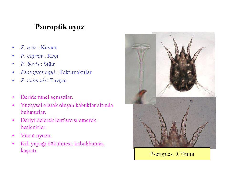Psoroptik uyuz P. ovis : Koyun P. caprae : Keçi P. bovis : Sığır