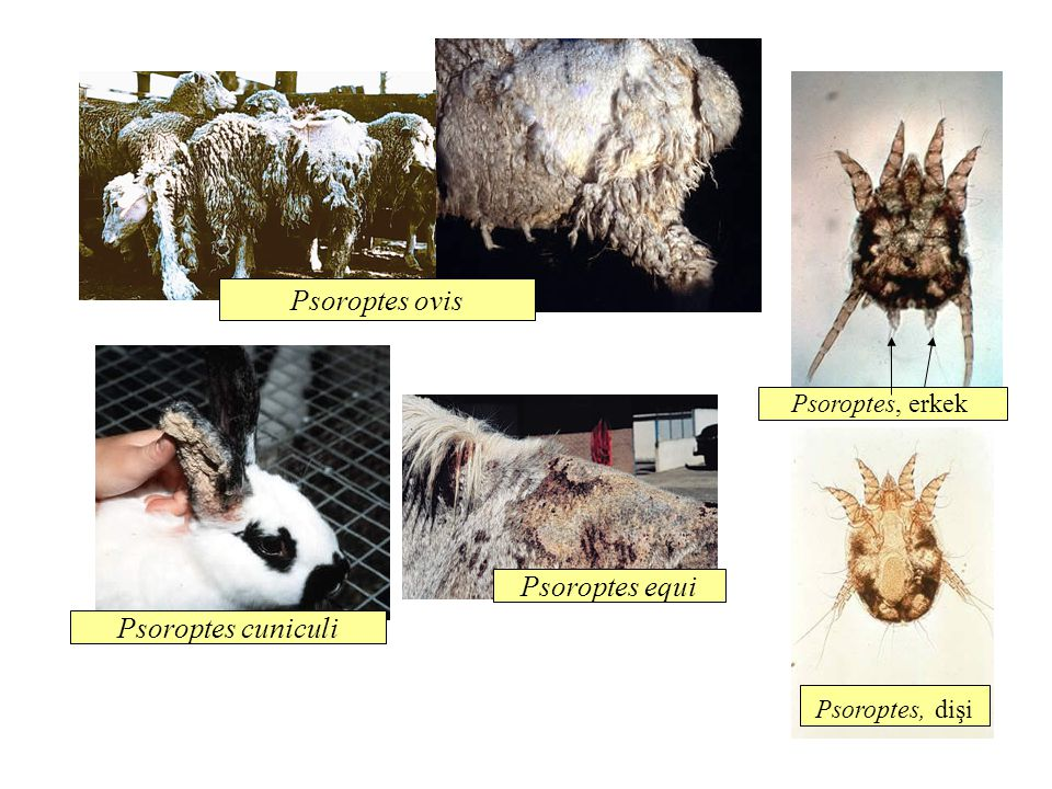 Psoroptes ovis Psoroptes equi Psoroptes cuniculi Psoroptes, erkek
