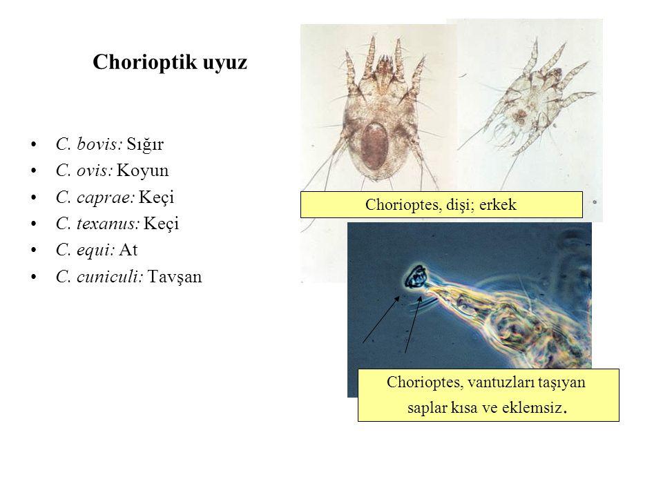 Chorioptik uyuz C. bovis: Sığır C. ovis: Koyun C. caprae: Keçi