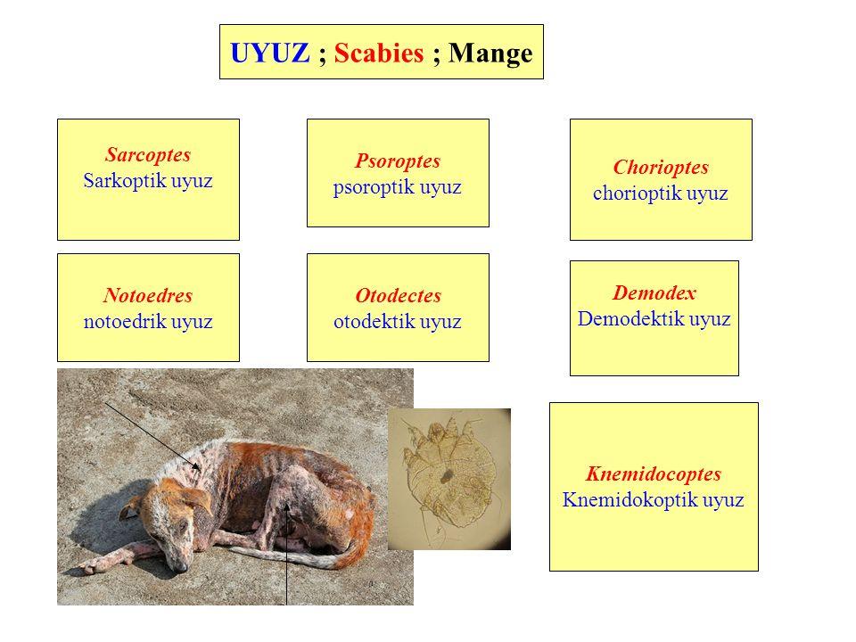 UYUZ ; Scabies ; Mange Sarcoptes Sarkoptik uyuz Psoroptes