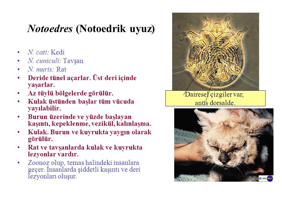 Notoedres (Notoedrik uyuz)